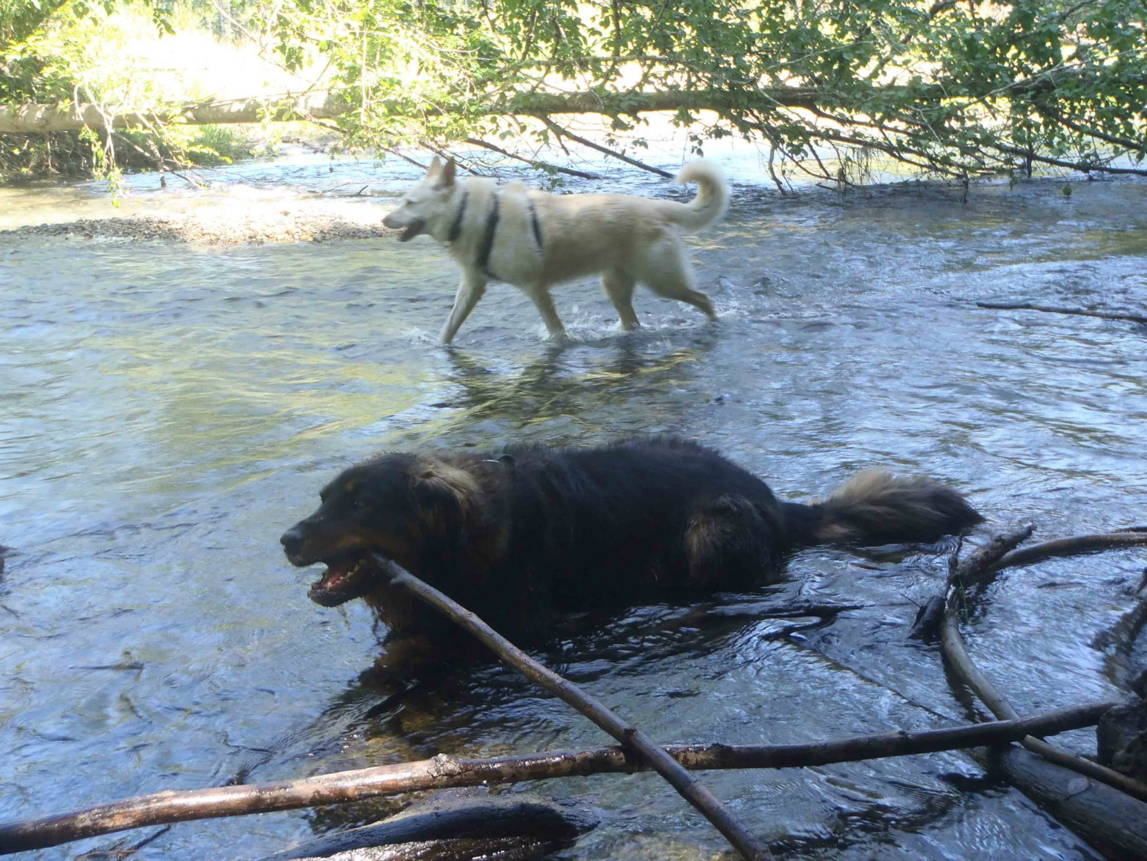 Our dogs, Emma and Buck, in the Cowichan River near Glenora Trailhead on a hot summer day.