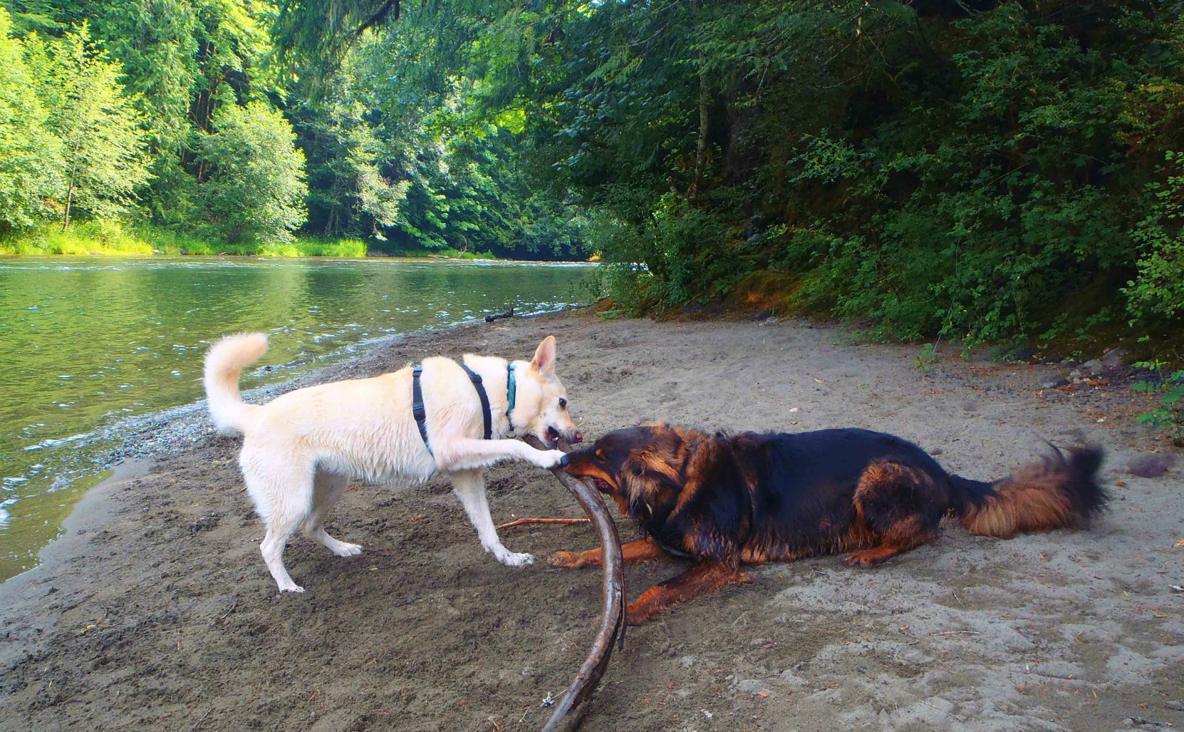 Our dogs, Emma and Buck, along the Cowichan River near Glenora Trailhead