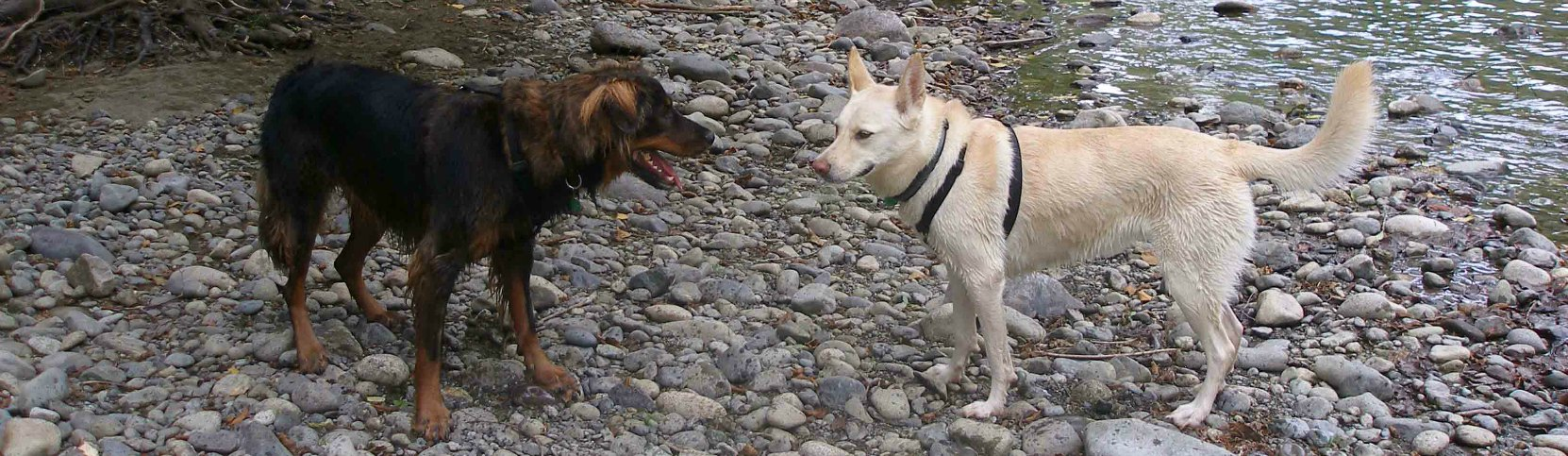Our dogs, Buck and Emma, along the Cowichan River
