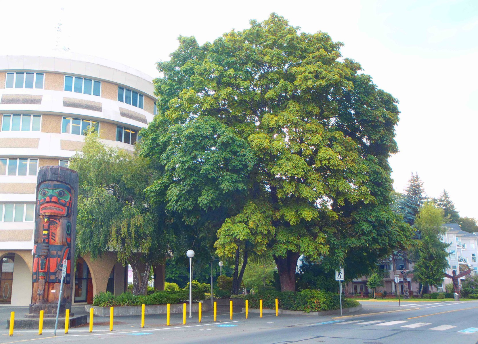 Confederation Tree, Government Street at Jubilee Street. Planted by David Alexander on 1 July 1927 to commemorate the 50th anniversary of Canadian Confederation.